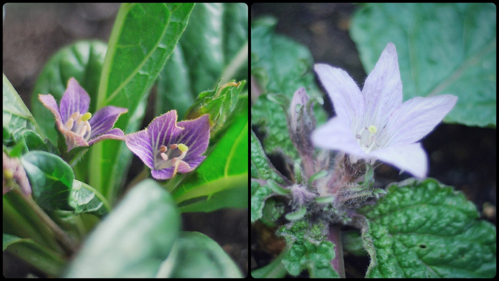 Mandragora officinarum (слева) и Mandragora autumnalis (справа)